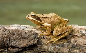 1280px-European_Common_Frog_Rana_temporaria