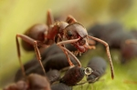 Black Ant with Aphids honeydew