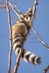 ringtail looks down
