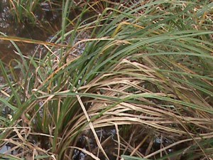 Santa_Barbara_sedge