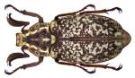 Polyphylla_olivieri_Laporte_de_Castelnau,_1840_(3887609658)