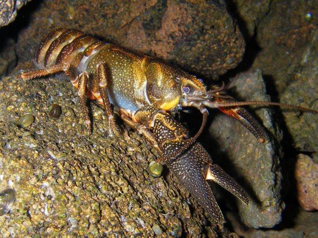 Shasta_crayfish
